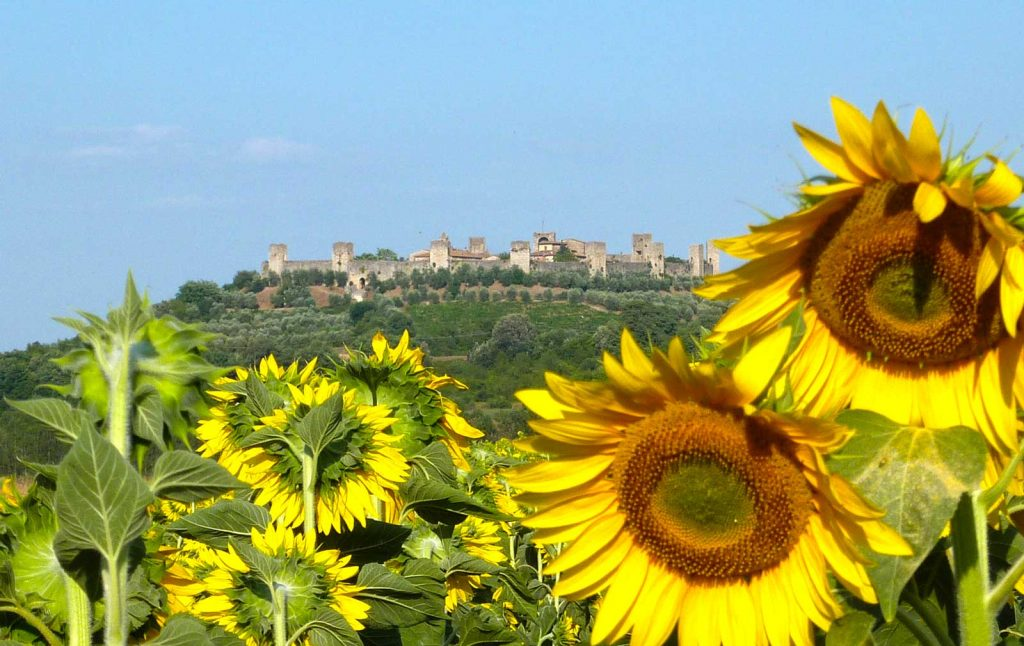 Sunflowers in Tuscany on the Bike Tour San Gimignano to Siena