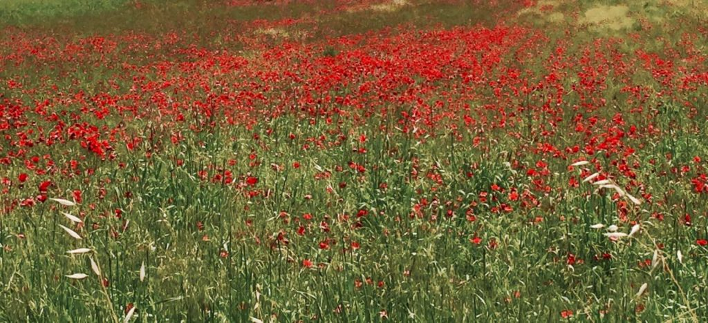 Bike in Florence & Tuscany: Poppy Fields in Tuscany