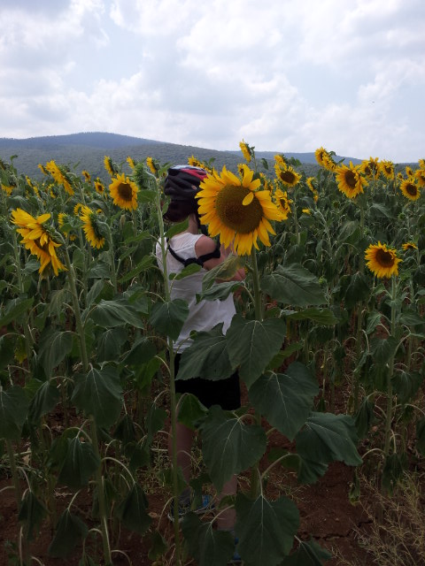 Ways To See Sunflowers In Tuscany Bike Florence Tuscany - Tranquil photos capture the beauty of tuscanys countryside