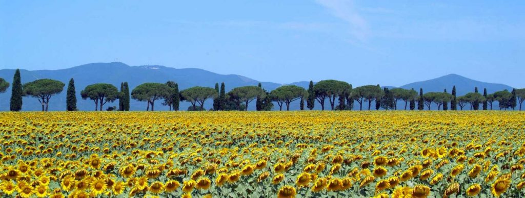 Sunflowers near the coast of Tuscan with Bike in Florence & Tuscany