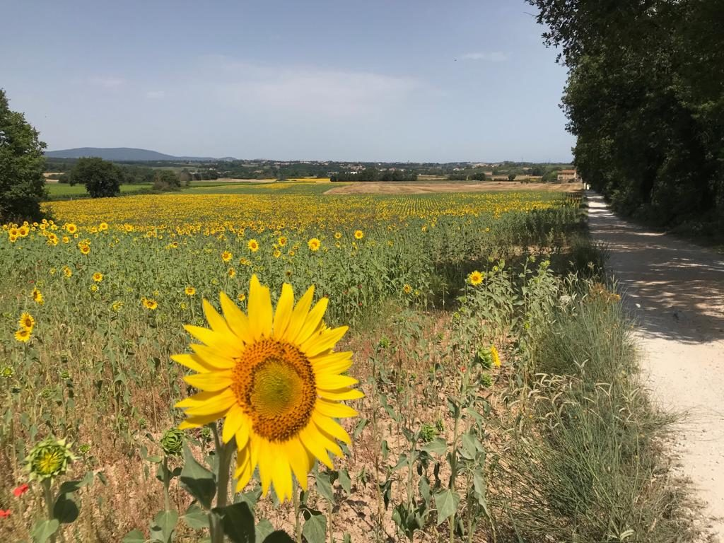 Great Sunflower Tour Ideas in Tuscany :: Bike Florence & Tuscany