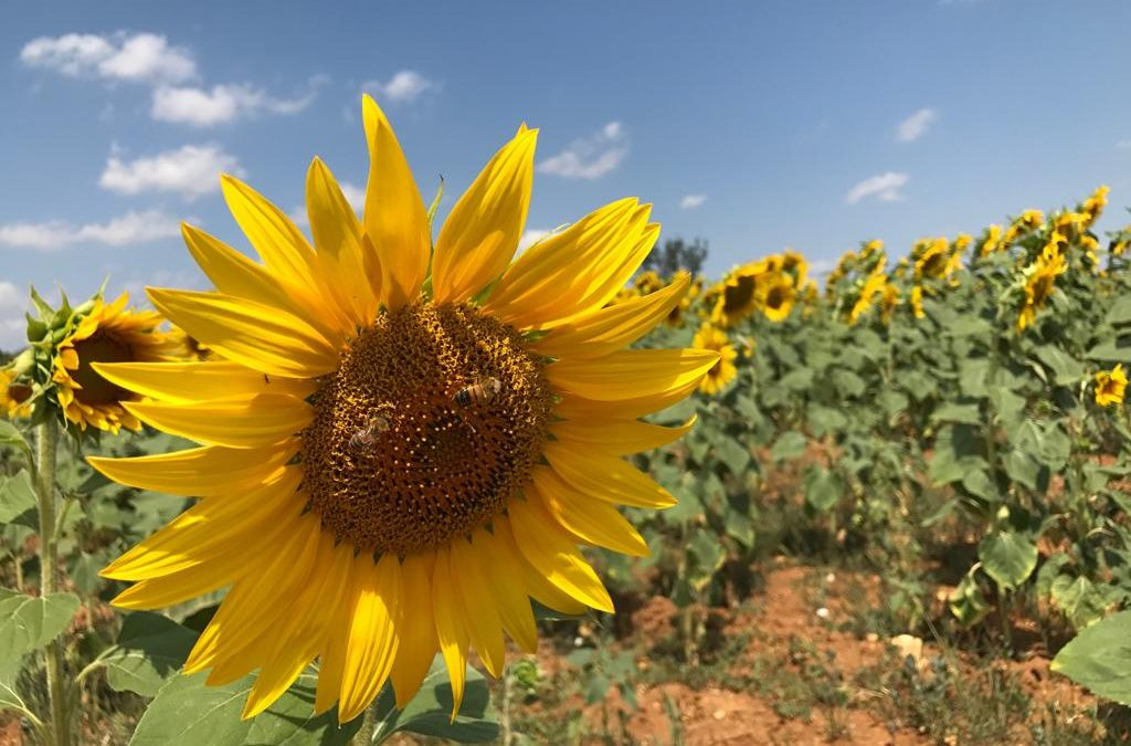 Sunflower Tour in Tuscany: my favorite!